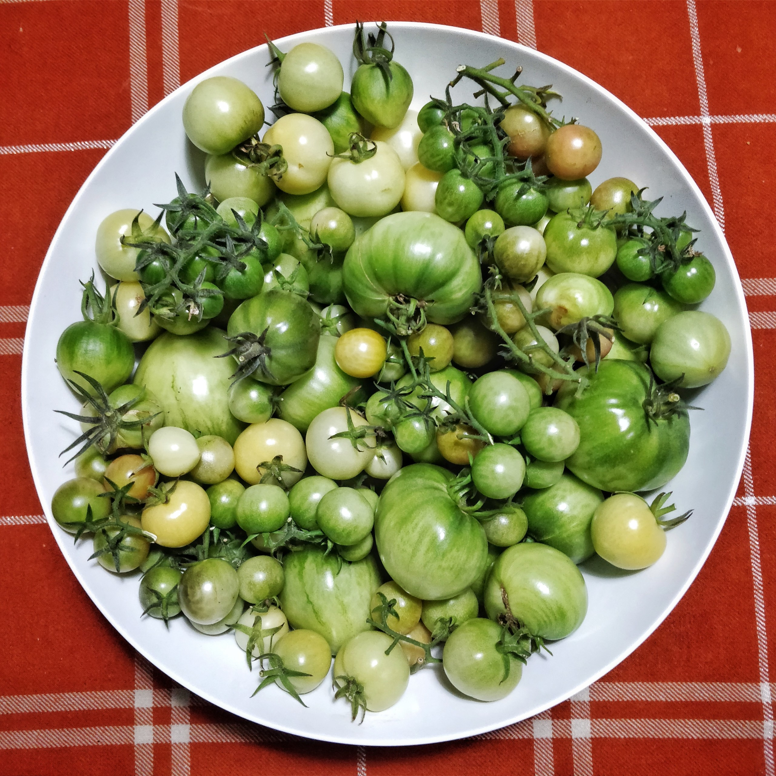 Over 2 kilos of green tomatoes in a large bowl